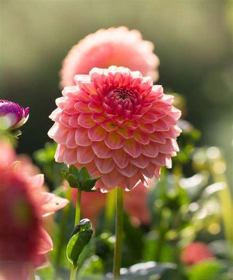 dālijas | Flowers, Butterfly flowers, Love flowers