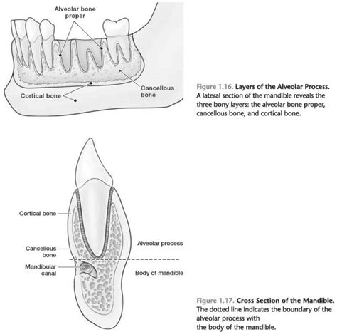Alveolar bone - Foundations of Periodontics: Alveolar bone ...