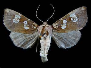 Poison Moth Borer Fly