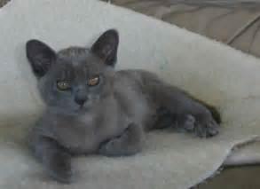 blue burmese cat burmese kitten photos