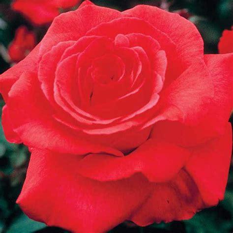 fragrant cloud hybrid tea edmunds 39 roses