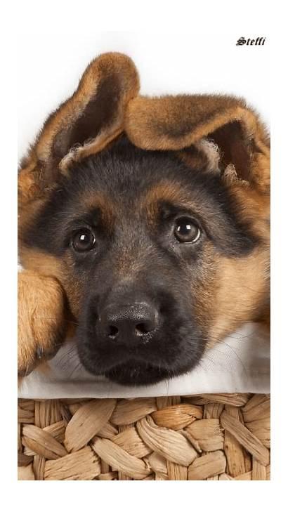 Shepherd German Dreamies Pups Dogs Funny