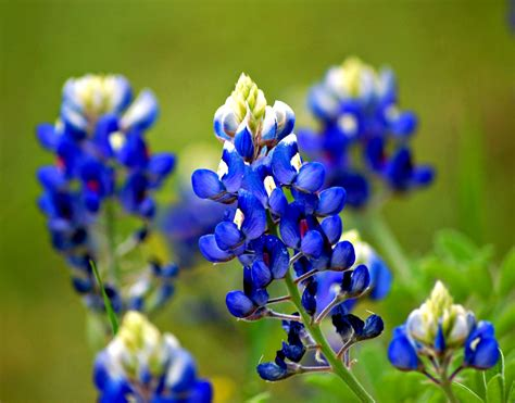 what is a bluebonnet texas bluebonnet lupinus texensis common name texas b flickr