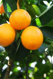 fruit trees  grow  north florida garden guides