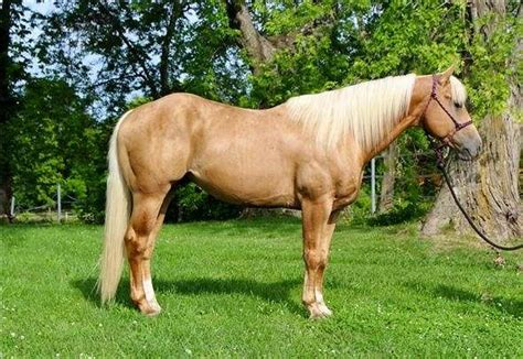 Beautiful Palomino Horse