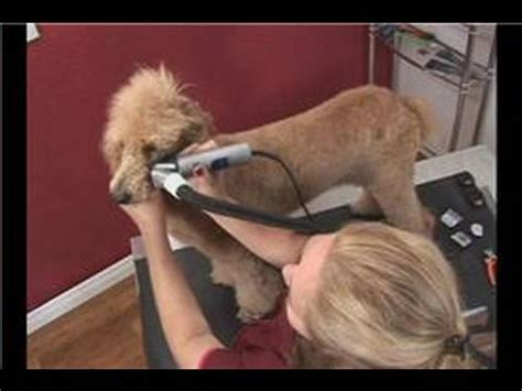 poodle dog grooming poodle dog grooming face shaving youtube