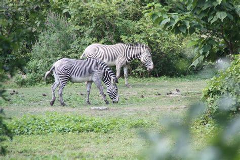 zebras zebra horse african