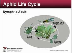 PPT Aphid Life Cycle PowerPoint Presentation ID4177688