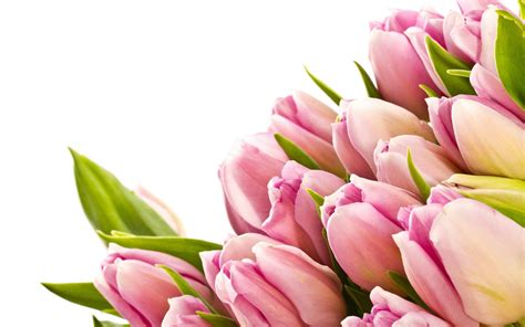 Pink Tulip Backgrounds by Pink Tulips Wallpapers Wallpaper Cave
