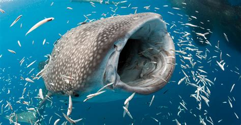 Tracking The Elusive Whale Shark