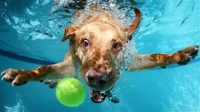 Underwater Funny Animals Dog Labrador Summer 4k