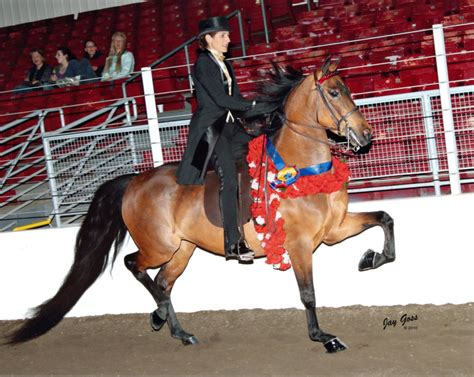 morgan horse marvellous horses western gaited nathalie courtesy government