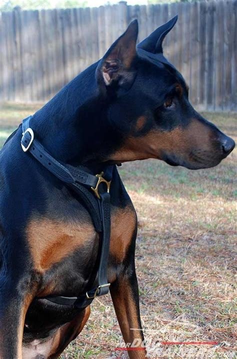 doberman tracking dog harness leather harness  doberman
