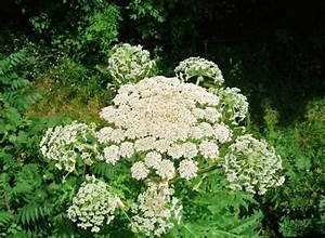 Giant hogweed – Identifying Noxious Weeds of Ohio