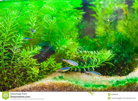bel aquarium d eau douce tropical plant 233 vert avec des poissons photo libre de droits image