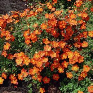 Potentilla fruticosa 'Red Ace' - Parastā klinšrozīte