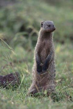 mongoose   pet animals momme