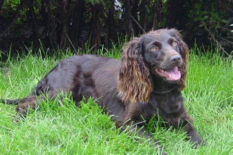 do boykin spaniel dogs shed boykin spaniel puppies for sale from reputable breeders