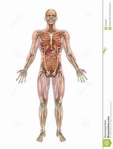 Darmen lichaam