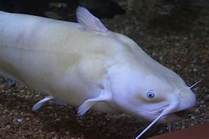 Catfish - Channel Catfish Info - Photo 2
