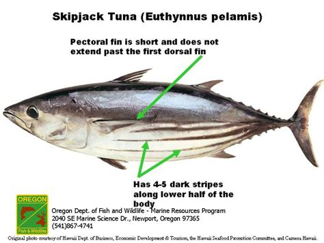 odfw marine sport fish id tunas  mackerels