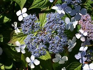 Hydrangea Paniculata Schneiden : kleinw chsige tellerhortensie 39 bluebird 39 hydrangea ~ Lizthompson.info Haus und Dekorationen