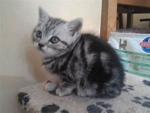 Pedigree British Shorthair Silver Tabby Kitten ...
