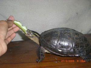 tips memelihara kura kura air tawar dapat anda baca di sini
