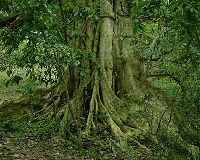 Trees Glorious Screensaver Screensavers Tree Jungle Nature