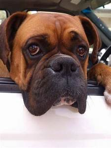 17 Best images about Wiggle Butt on Pinterest | Boxer dog ...