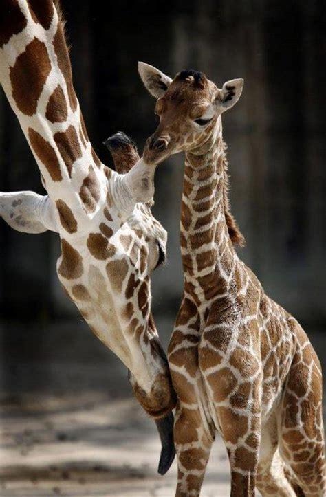 b 233 b 233 girafe 192 lire