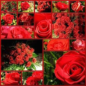 Begleitpflanzen Für Rosen : f r mich soll s rote rosen regnen foto bild bearbeitungs techniken filtertechniken ~ Orissabook.com Haus und Dekorationen