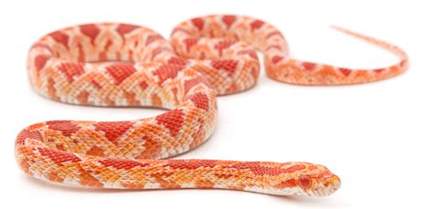 corn snakes bite keeping exotic pets