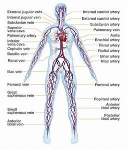 Arterial System Of Human Body