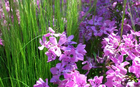 pink flowering grass mlewallpapers com pink phlox and grass