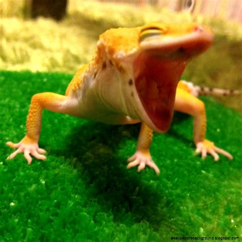 Leopard Gecko Cute | Wallpapers Background