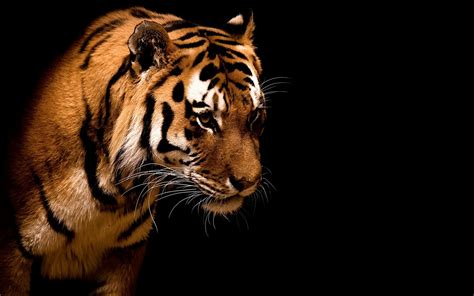 Tiger Animal Wallpaper - tiger animals wallpapers hd desktop and mobile backgrounds