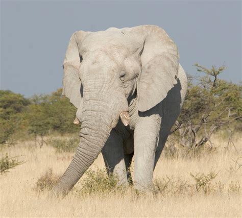 white elephant white elephant genetic disorders blog articles
