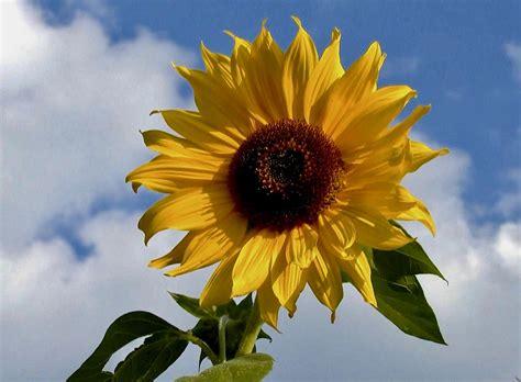 fingerspiel im september die sonnenblume hans natur blog