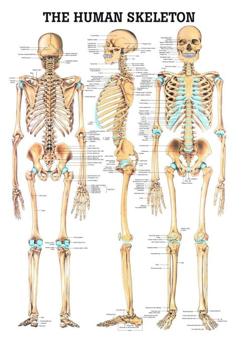 Labeled view of the deep muscles of the back and. The Human Skeleton Laminated Anatomy Chart | Skeleton anatomy, Human skeleton anatomy, Female ...