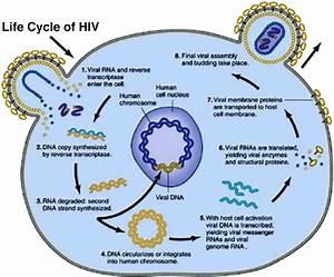 Stages Of Hiv Life Cycle  Source   4