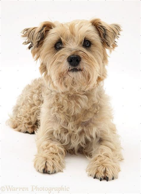 white cairn terrier pooches pinterest terriers