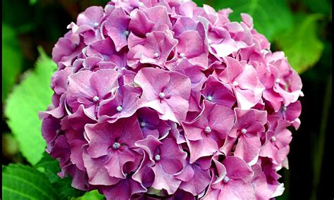 hydrangea pictures how to change the color of hydrangea plants home garden for mere mortals
