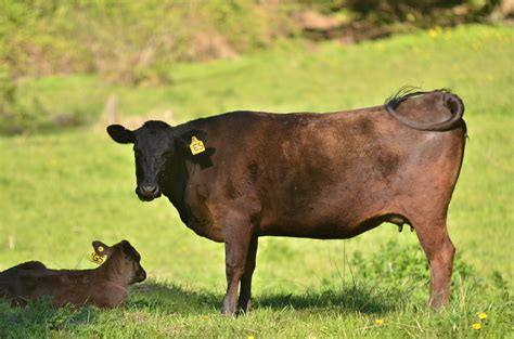 For Sale: 5 Wagyu Cows   Cattle Exchange