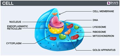 The Cell Biology Cells Cell Biology Definition Types Of Cells Their