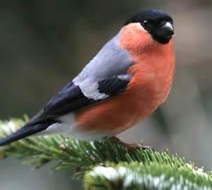 Vogel Mit Roter Brust : was zwitschert denn da mit roter brust zur balz was zwitschert denn da k lner stadt anzeiger ~ Eleganceandgraceweddings.com Haus und Dekorationen
