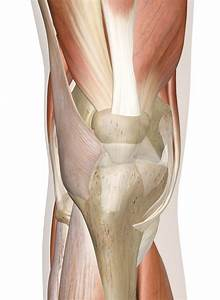 Right Knee Muscle Diagram Muscles Of