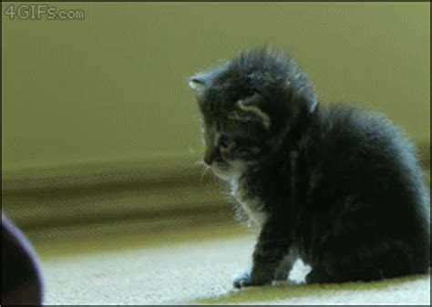 cat gif giphy gif