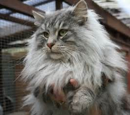 majestic forest cat photo and wallpaper
