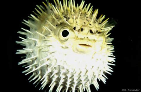 researching  types  fish   puffer fish